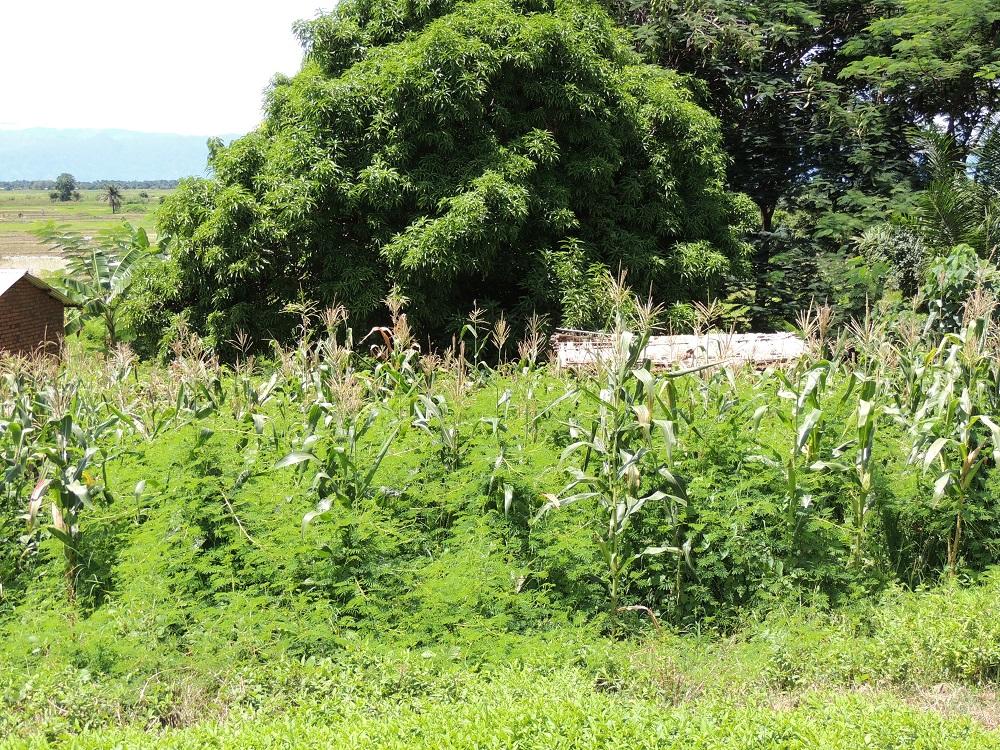 Mimosa in Malawi