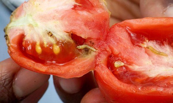 Tuta absoluta (tomato leafminer); larval damage to fruits. Kenya