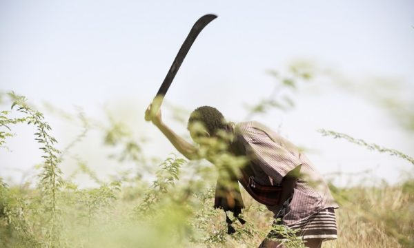 Farmer Odisyoso Bugayo clears prosopis from his land.