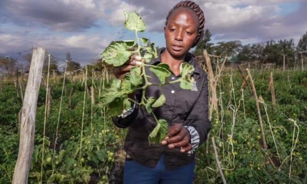 A farm manager checks for Tuta absoluta on tomato crops in Kajiado County, Kenya