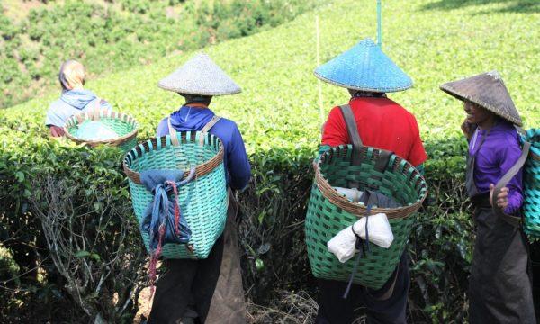 Indonesian tea