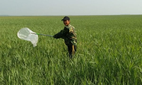 Man in field catching insects with net