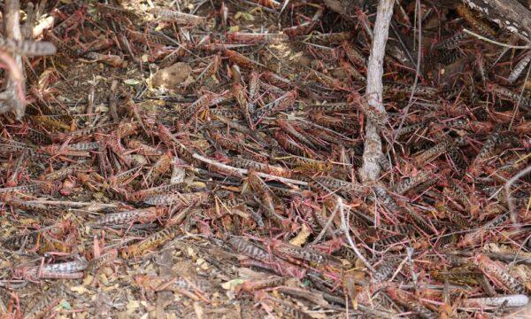 Roosting locusts