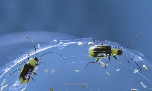 Male corn rootworms in laboratory rearing (Photo Stefan Toepfer) Western corn rootworm