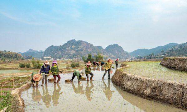 Farmers in rice field