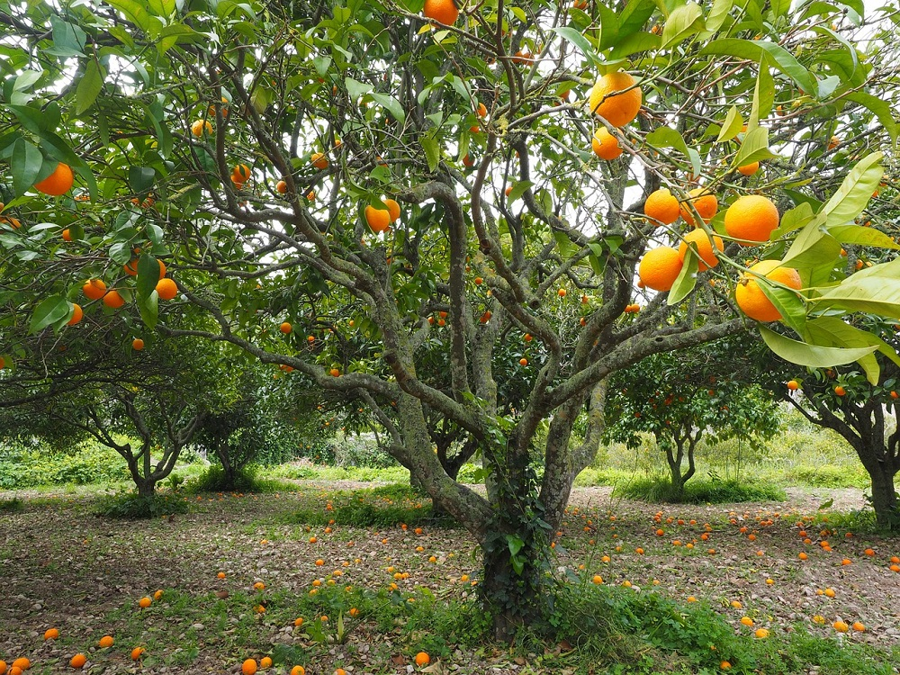orange-tree-1117423_1280