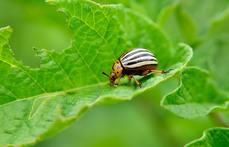 A Colorado beetle on a leaf