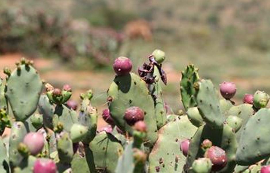 Opuntia stricta in Kenya