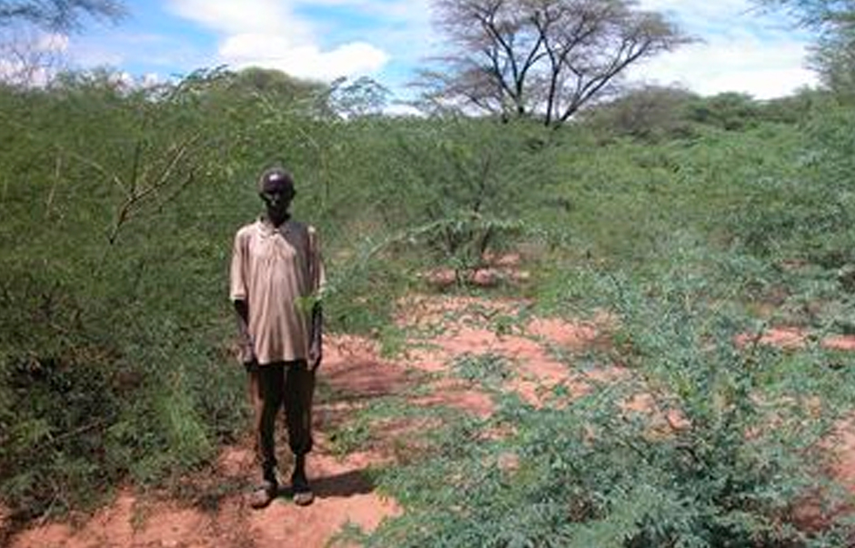 An African man surrounded by prosopis