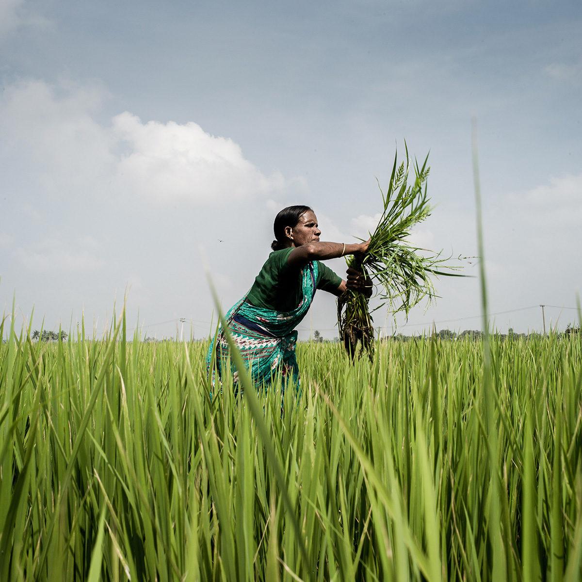 Female farmer in a rice paddy in India