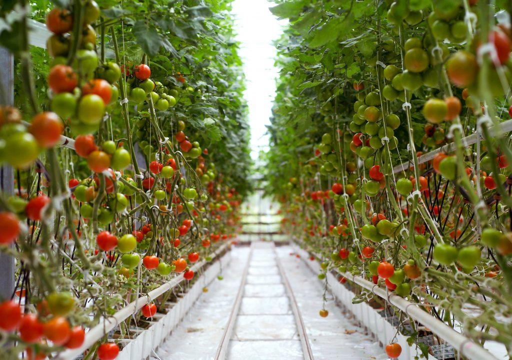 Rows of Tomatoes in a Greenhouse