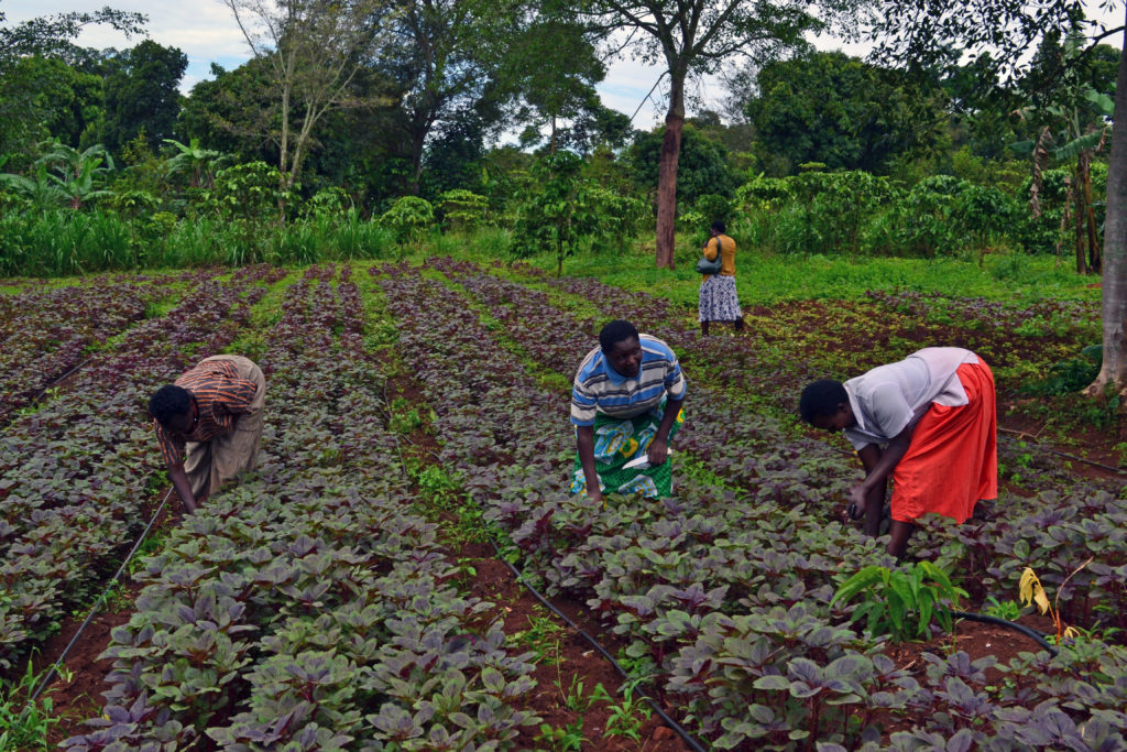 Women farmers tending to their crops in Uganda