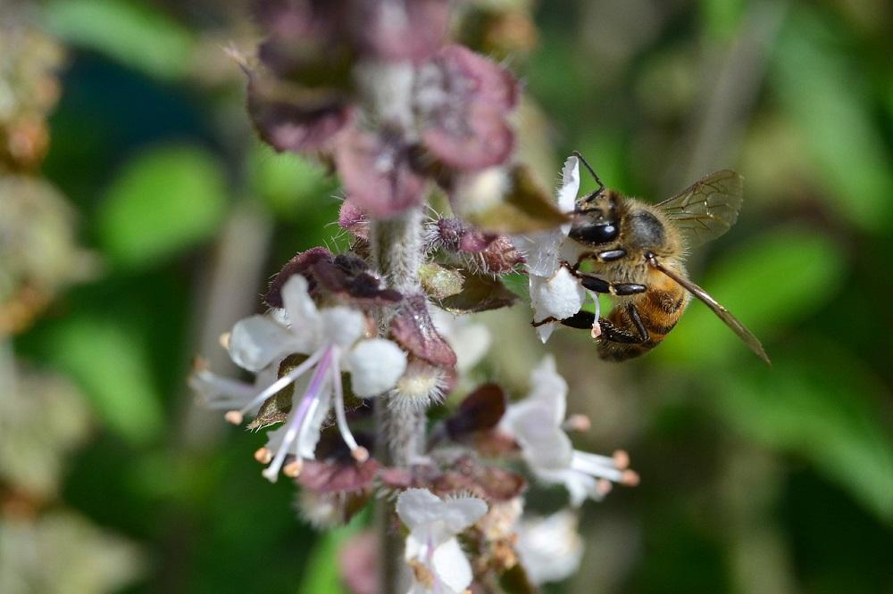 African bee