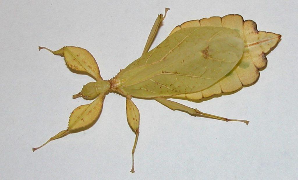 A leaf insect, Phyllium siccifolium. Photo credit: Matan Shelomi