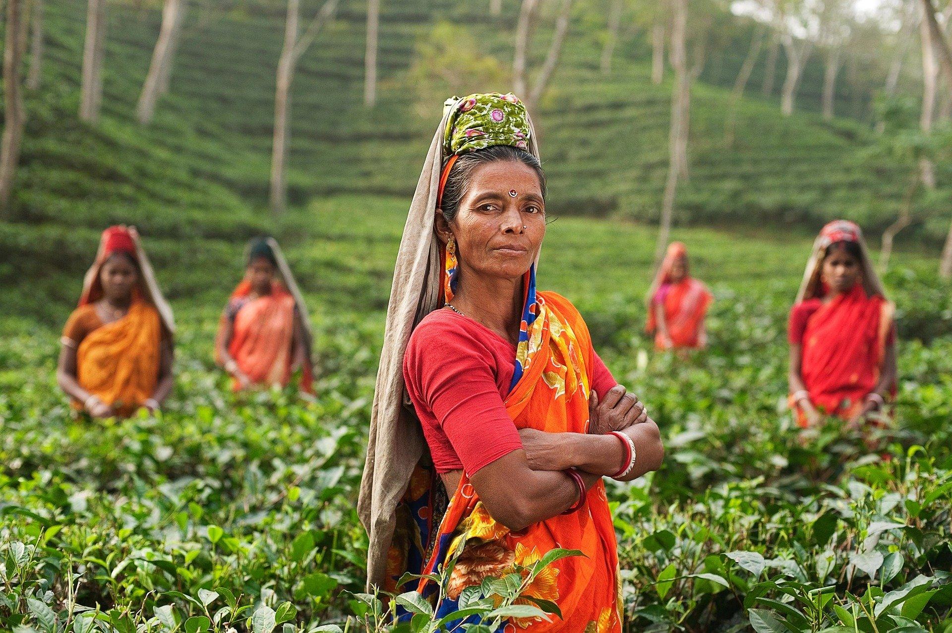 Person, Woman, India, Fields, Plantage, Tea, Plants
