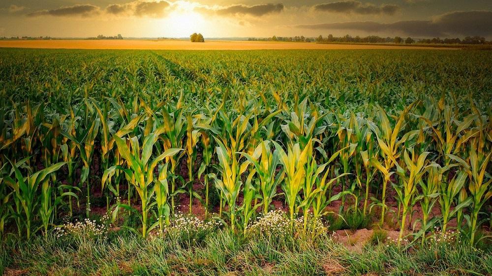 corn-4896300_1280