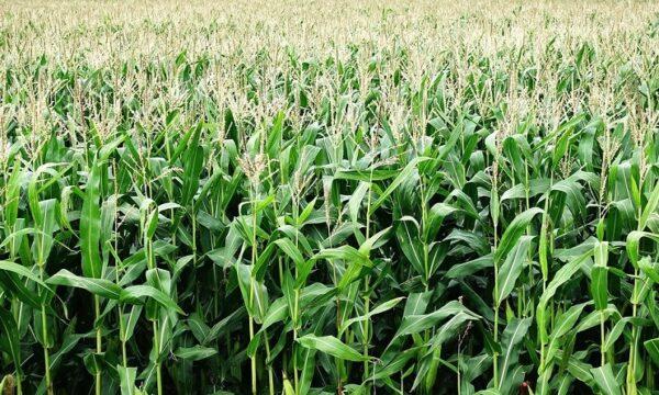 corn-2655525_1280
