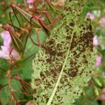 Rust fungus pustules on Himalayan balsam leaf