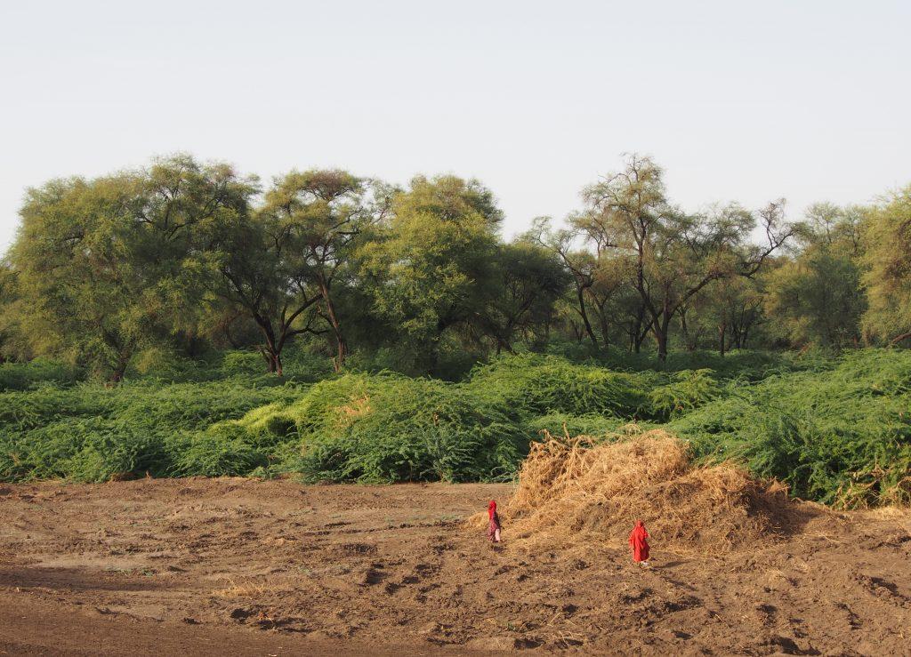 Prosopis clearing along Awash river
