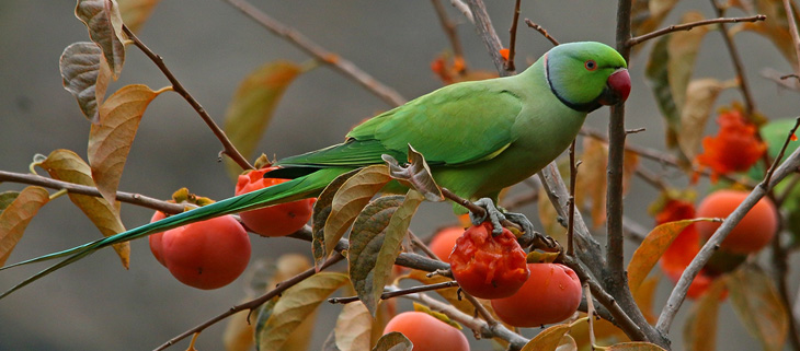 Parakeet eats fruit from a tree