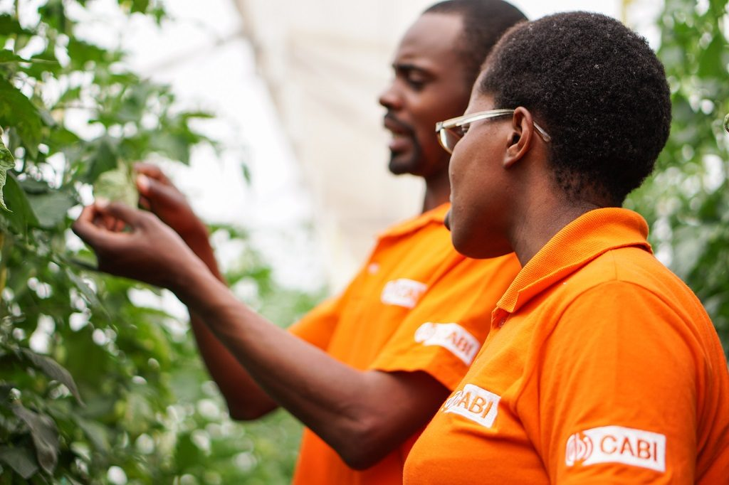 Two CABI scientists inspect tomato plants