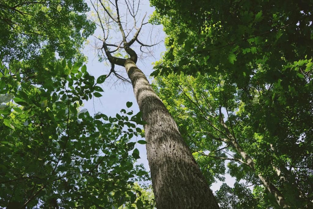 A green ash (Fraxinus pennsylvanica), killed by emerald ash borer, Hamilton Escarpment. USA/Canada borders