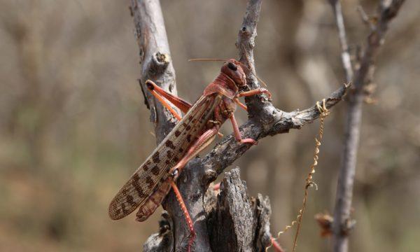 desert locust alone in a tree