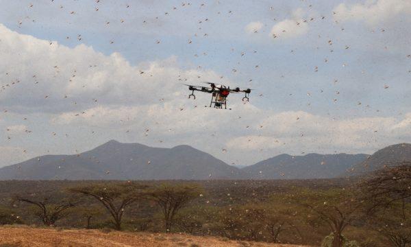 drone flying amongst locust swarm in Kenya