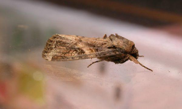 Spodoptera_frugiperda1