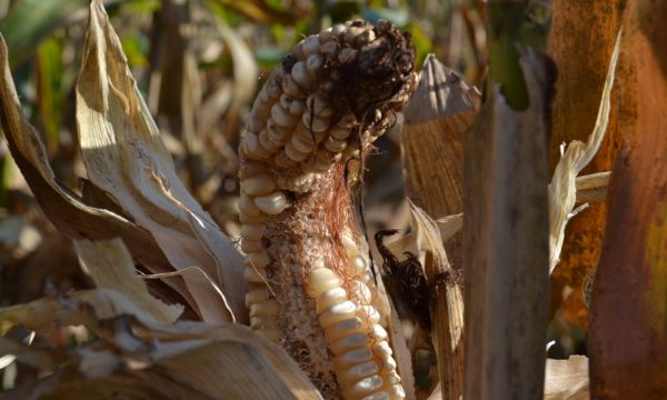 Infested-maize-4