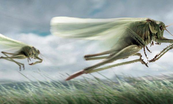 Locusts in a field