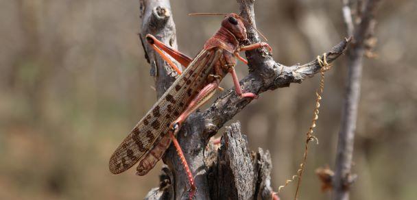 Invasive species desert locust