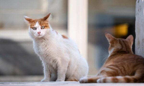 Invasive species cats