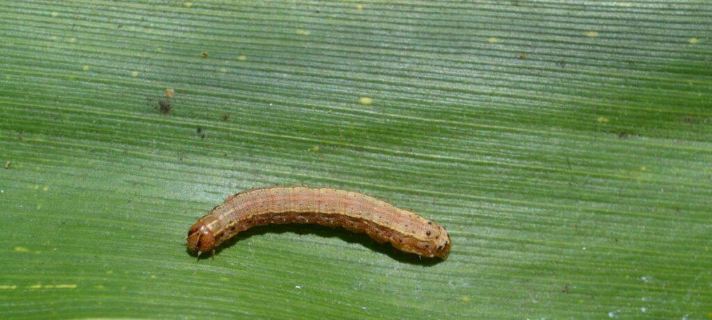 CABI podcast, fall armyworm caterpillar