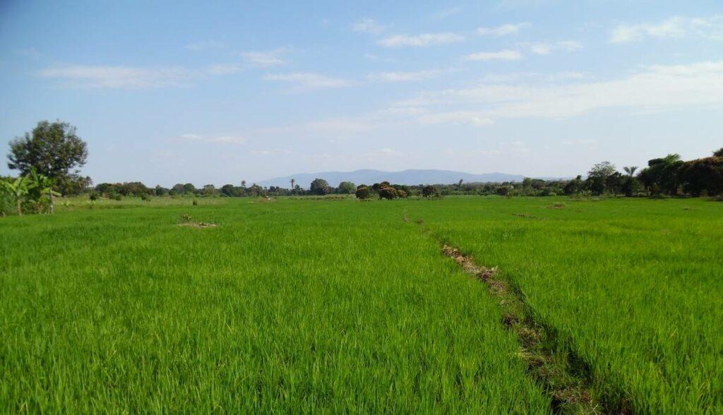 Rice farming in Tanzania