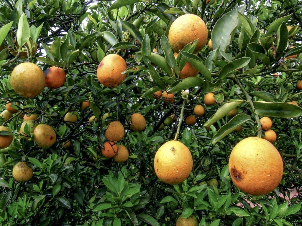 asian citrus greening disease