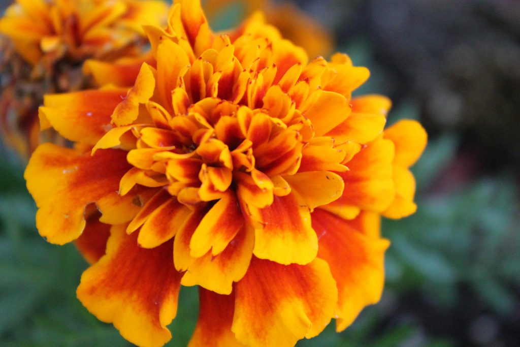 Close-up of a fiery orange marigold flower