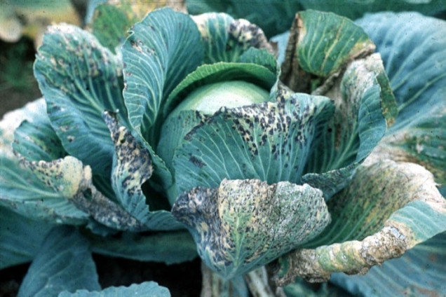 cabbage-with-tumv
