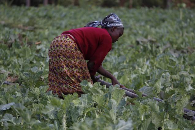 farmer-tending-to-kale