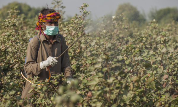 Farmer sprays pesticide in the cotton field at the village Khudabad Chandia in Mityari, Sindh, Pakistan.