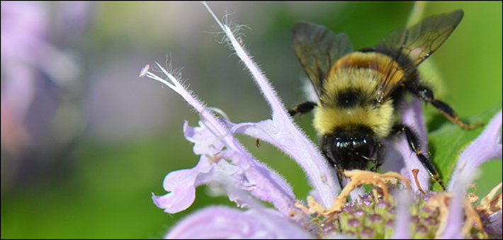 Rusty patched bumble bee feeding on wild bergamot