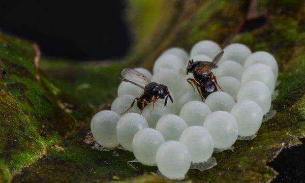 Trissolcus parasitoids attacking halyomorpha egg