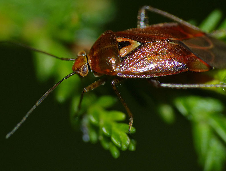 new pest records: mirid bug